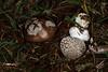 Amanita excelsa var. spissa, l'amanite épaisse. (chug14) Tags: unlimitedphotos champignon pilze mushroom fungus fungi funghi amanitaceae amaniteépaisse amanitefaussepanthère golmottegrise amanitaspissa agaricusspissus amanitaexcelsavarspissa