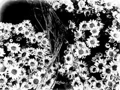 Margaridas em P&B... MCris (MCrissssss) Tags: pretoebranco pb margaridas flora jardim flores bouquet flowers
