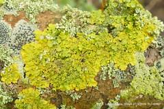Xanthoria parietina (mainly) P1270717 (Pitzy's Pyx, keep snapping away!.) Tags: xanthoriaparietina greensandtrust greensandvolunteers lumixfz1000 riverflit greensandridge sandysmithnaturereserve