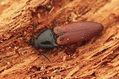 Ampedus pomorum (Radim Gabriš) Tags: coleoptera elaterooidea elateridae ampedini ampedus ampeduspomorum clickbeetle