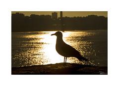 ... (ángel mateo) Tags: ángelmartínmateo ángelmateo cádiz andalucía españa andalusia spain amanecer dawn sunrise gaviota mar dorado brillo contraluz golden seagull shine backlight