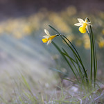 Narcisse jaune I