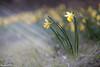 Narcisse jaune I (StephAnna :-)) Tags: eclepends gelbenarzisse jonquilles lentlily narcissejaune narcissetrompette narcissuspseudonarcissus wilddaffodil eclépens vaud schweiz ch
