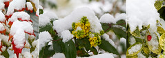 Colours of winter (smir_001) Tags: march spring pattern abstract snow lines victoriapark garden plants england bath somerset avon britishgardens royalvictoriapark botanicalgarden flora leaves attractive canoneos7d british bush shrub mahonia colourful yellow flowering white green berberidaceae china hollytree varigata evergreen horticulture outdoor ilex britishparksgardens mahoniabealei red triptych collage montage