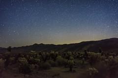 _DSC8231 (andrewlorenzlong) Tags: joshua tree national park joshuatree joshuatreepark joshuatreenationalpark california desert cholla chollas cactus garden chollacactusgarden