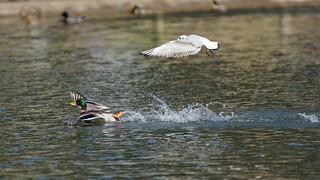Seagull vs mallard (5/13)