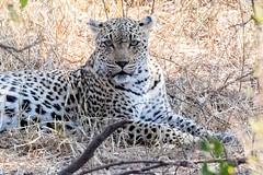 Leopard (mayekarulhas) Tags: leopard krugernationalpark krugerpark wildlife wild southafrica safari animal africa canon carnivores