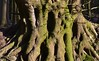 Waldungeheuer; Wohlde, Stapelholm (1) (Chironius) Tags: stapelholm wohlde schleswigholstein deutschland germany allemagne alemania germania германия niemcy wald forest forêt лес bosque skov las baum bäume tree trees arbre дерево árbol arbres деревья árboles albero árvore ağaç boom träd holz wood legno madera bois hout borke rinde ladrido écorce corteccia schors кора rosids fabids buchenartige fagales buchengewächse fagaceae fagoideae buchen rotbuche faia kayın beuken бук bok fagus