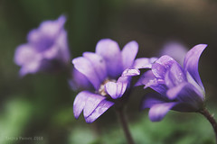 Anemone (Tanjica Perovic) Tags: plant nature spring beautyinnature purple flowers garden drops rain water