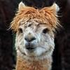 Check out my hairdo!!!😀😁😀 (LeanneHall3 :-)) Tags: llma animal aviary eastpark hull kingstonuponhull closeup closeupphotography brown fur canon 1300d