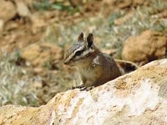 uinta or gray collared chipmunk?- Grand Canyon South Rim (gskipperii) Tags: arizona wildlife animal mammal outdoors nature west grandcanyon southrim
