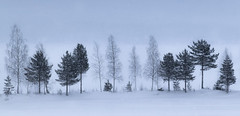 A row of trees (jesserepo) Tags: background barren beautiful blue calming cold enduring finnish flat foggy frost frozen harmonious ice landscape light lonely nature next other outdoor planted quiet row scene scenery scenic season sightn silently sky snow snowy tree trees untouched weather white winter wood