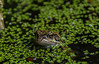 Goodmorning frog and mosquito (Marco van Beek) Tags: holland europe beautiful world nikon d5000 afs dx nikkor 18200mm f3556g ed vr ii pool water nature