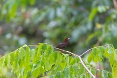Le Tangara à bec d'argent. (alain_did) Tags: ramphoceluscarbo oiseau tangara naturepics naturelover naturallight nature guyane amazonie amazonia
