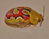Easter Christmas beetle Paropsisterna sp aff gloriosa P1220276 (Steve & Alison1) Tags: bejewelled paropsine beetle paropsisterna sp aff gloriosa chrysomelinae chrysomelidae airlie beach rainforest