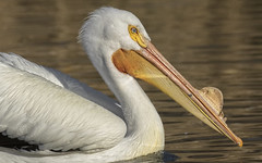 Pelican Close-up (Randy E. Crisp) Tags: randyecrisp randycrisp crisp canon tamron150600mm sky woods grass field wildlife branches leaves zoom prime 7dmkii 7dmark2 7dmk2 100400mm outdoor outdoors redriver lamarcounty hagermans nationalwildliferefuge nwr waterbird fisheater graysoncounty sherman tx texas centralflyway water 2018 2017 2016 2015 2014 2013 nature limb perched trunk vegetation handheld cropcamera pelican americanwhitepelican dallas whiterocklake