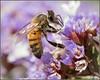 Sucking it Up 2720 (maguire33@verizon.net) Tags: sealavender bee pollen