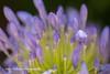 Agapanthus Flowers (Anna Calvert Photography) Tags: floral flowers garden macro macrophotography mygarden nature naturephotography petals plants agapanthus blue