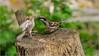 LR7-PGH55419 (JB89100) Tags: 2018 6kphotomode effetsspeciaux moineau oiseaux quoi