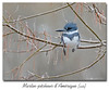 Martin-pêcheur d'Amérique / Belted Kingfisher 153A7510 (salmo52) Tags: oiseaux birds almo52 alaincharette martinpêcheurdamériquebeltedkingfisher cerylealcyon alcedinidae megacerylealcyon coraciiformes alcédinidés beltedkingfisher