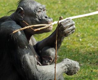 Bonobo Apenheul BB2A1534