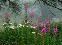 Epilobi (giorgiorodano46) Tags: agosto2007 august 2007 giorgiorodano saintluc anniviers pioggia rain pluie valais vallese wallis svizzera suisse schweiz switzerland