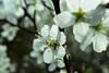 spring´s arrival (nelesch14) Tags: macro flower cherryblossom blossom nature tree blossoming white spring
