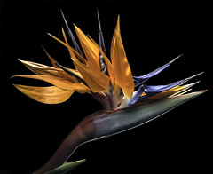 Glowing Bird (Bill Gracey 18 Million Views) Tags: birdofparadise fleur flower flor offcameraflash softbox roguegrid yongnuo yongnuorf603n homestudio blackbackground color colorful orange blue green tabletopphotography backlit backlighting glowing luminous nature macrolens naturalbeauty floralphotography
