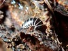 Glomeris marginata (lloyd177) Tags: millipede wiltshire