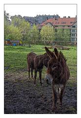 C'est l' printemps. Hi ! Han ! (Jean-Marie Lison) Tags: eos80d bruxelles ganshoren ânes prairie