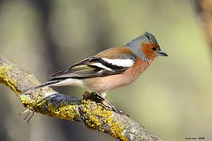 Pinsà (M)* (Enllasez - Enric LLaó) Tags: aves aus bird birds ocells pájaros 2018 lleida