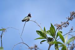 Anna's Hummingbird (KCR Natural Wonders Photography) Tags: male annas hummingbird tiny blue sky bird wildlife photography nikon d7200 18300mm