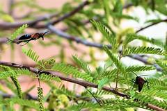 Incoming (thomasgorman1) Tags: wasp wasps spiderwasp flying nectar nectaring insect baja mx mexico desert leaves nature