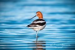 (bryce yamashita) Tags: avocet belmar belmarpark bird d850 lakewood nature nikon wildlife yamashita
