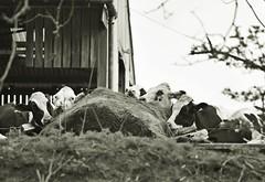 Rutland Water April 17 - 28 (Lostash) Tags: rutland rutlandwater nature life far farming food feed cattle cows livestock