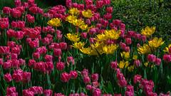 Tulip Time in Istanbul - Göztepe 60th Year Park (Feridun F. Alkaya) Tags: istanbul turkey lale tulip tulipfestival istanbultulipfestival flowers