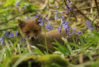 Fox cub amongst the Bluebells.