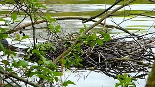 P2030337 foulque macroule 02 (nid) -Grouchy