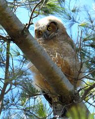 DSC_1301_edit (Hanzy2012) Tags: nikon d500 afsnikkor500mmf4difedii toronto ontario canada wildlife bird teleconverter tc14eii greathornedowl bubovirginianus owl