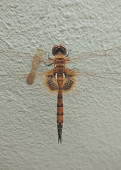 Earthlings. (Blesson Miracle Mathew) Tags: earthlings colour photography bangalore blesson miracle mathew dragon fly earth day earthling india insect mobile quote vsco