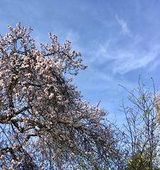 Flowering tree with blue sky (joybidge) Tags: trishcanada naturepatternscanada flower flowers spring floweringtrees