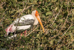 Painted Stork (Balaji Photography') Tags: paintedstork vedanthangal birding birds waterbird sanctuary india