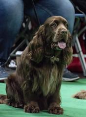 GAZ_1214 (garethdelhoy) Tags: dog sussex spaniel crufts 2018 kennel club