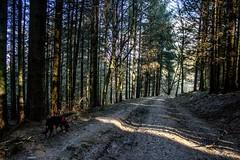 Shaft of light on the track (allybeag) Tags: setmurthy woods forest trees kiri dog path track road shaftoflight sunlight shadows