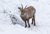 4R3A4422 (Thomas 2312) Tags: tiere winter hohe wand steinbock
