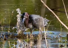 So close (DonMiller_ToGo) Tags: littleblueheron wildflorida wildlife nature onawalk heron outdoors birdwatching d810 birds florida