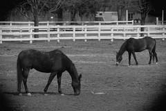 Horse, Danada Forest Preserve. 22 (EOS) (Mega-Magpie) Tags: canon eos 60d outdoors danada forest preserve wheaton dupage il illinois usa america horse bw black white mono monochrome equine