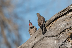 Northern Flickers posturing before the fight