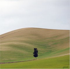 strange beauty (gicol) Tags: hill collina tree albero arbol monte solo alone loneliness solitude solitudine green verde campo rurale curve soft cypress cipresso lucania basilicata italia italy