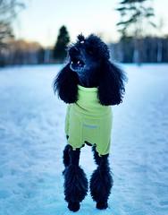 Royal poodle. (vladimirfeofanov) Tags: royalpoodle